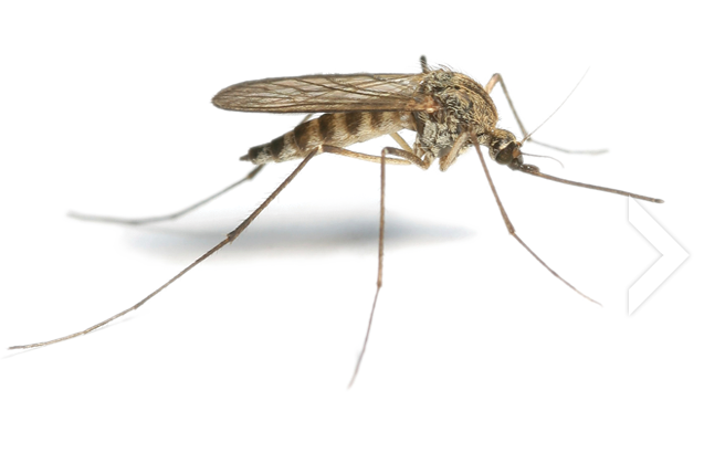 Mosquito-Free-PNG-Image