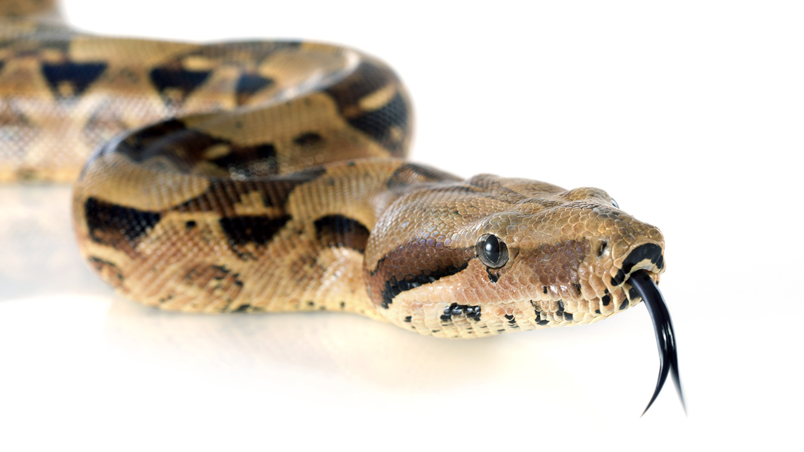 boa-constrictor-closeup.ngsversion.1412351496655