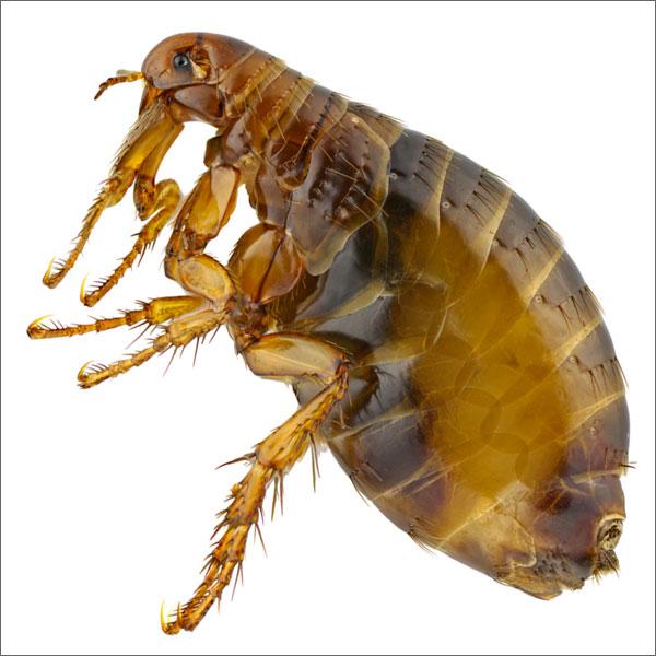 flea (1)